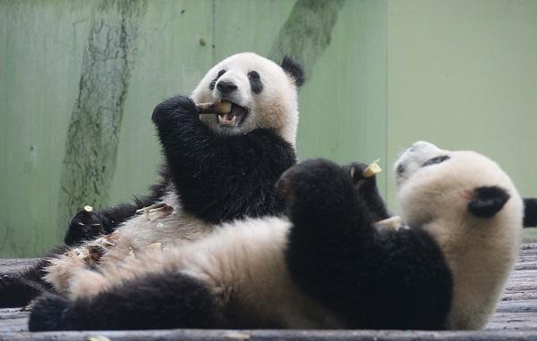 """前不久,上海动物园依依不舍地送走了伴随大家2年多的大熊猫双欣、双喜俩姐妹,同时,也迎来了2位年轻的帅哥组合""""星二、雅二""""。这对熊猫兄弟将在""""五一""""期间正式和市民游客见面。 记者昨天在上海动物园看到,这对熊猫兄弟顶着国宝的光环、带着卖萌的天职,在它们的地盘上享受着上海的新生活。个头稍大的""""星二""""悠哉地啃着春笋,这个可是它最爱的美食,新鲜的竹子则被抛在了一边,它判若无人地将身边食物消灭一空。""""雅二""""相较于哥哥&l"""