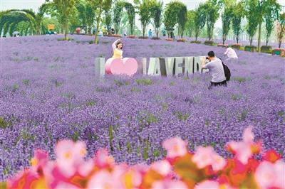 浦东要闻 主要媒体    日前,第三届上海薰衣草节在上海国际旅游度假区