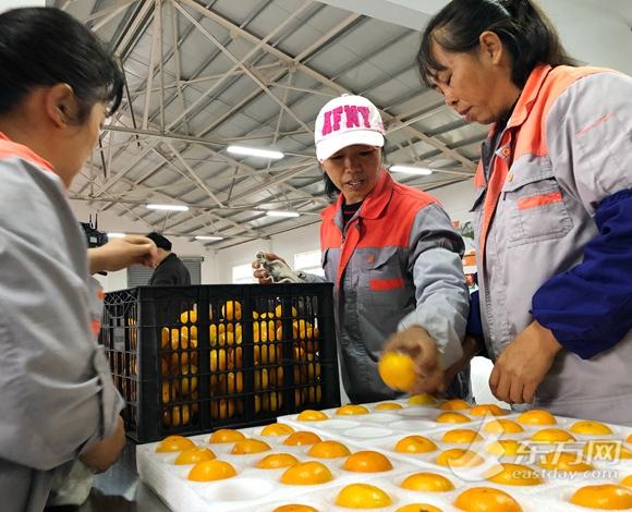 """想吃多甜就多甜 """"崇明金沙橘""""是怎么做到的?"""